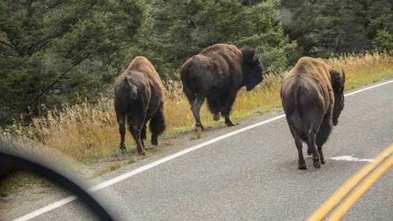 Die Bisons haben immer Vortritt.