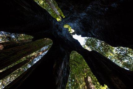 Einblick in einen hohlen Redwood Tree.