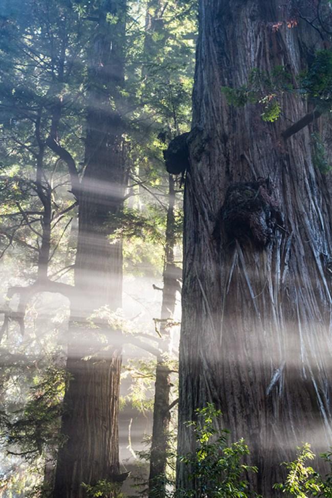Das Licht zwängt sich zwischen den riesigen Baumstämmen hindurch.