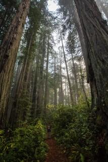 Voilà: Redwoods!