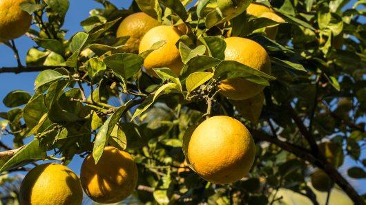 Orangenbaum im Campground.