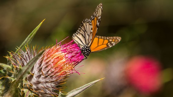 Die Monarch-Falter ernähren sich von Blüten-Nektar.