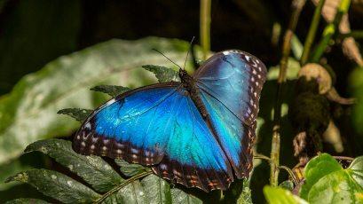 Riesiger Schmetterling im Dschungel.