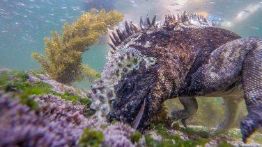 Die Meerechse beschafft sich ihr Futter unter Wasser.