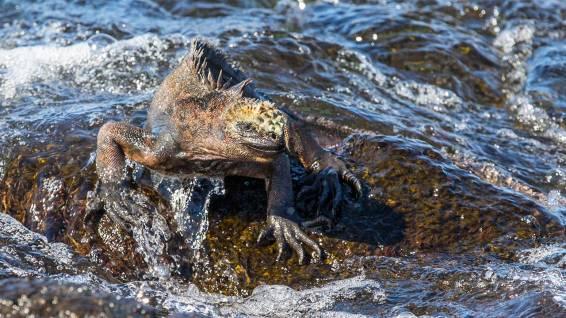 Hurraa, eine Galapagos-Meerechse.