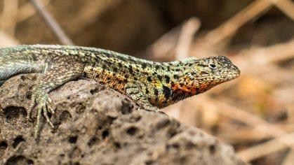 Ein Lava-Lizard wärmt sich auf.