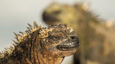 Zum Vergleich: hier ein Marine-Iguana.