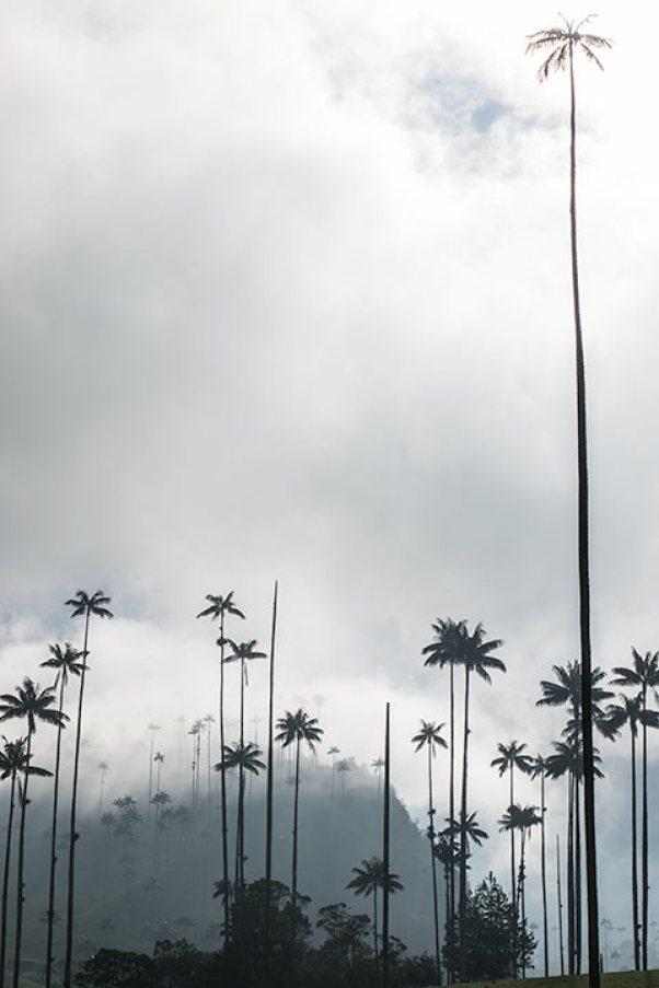 Kolumbien hat auch Palmen auf 3000 MüM, die bis zu 60 Meter hoch werden.