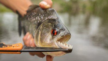 Wir fischen Piranhas.
