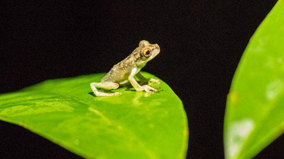 Ein winziger Frosch... ungiftig weil nicht bunt.