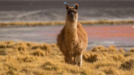 Eine Alpaka-Herde treibt sich in der Nähe rum.