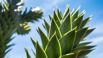 Sieht aus wie ein Kaktus, ist aber eine Tanne.