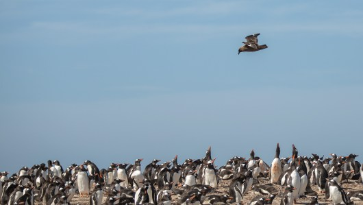 Hier in Form eines Skuas…