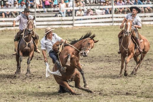 Die Pferde werden speziell zu diesem Zweck nicht gezähmt.