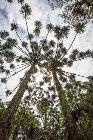 1.August-Bäume.