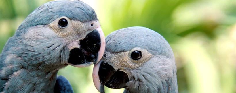 Hasil gambar untuk spix macaw