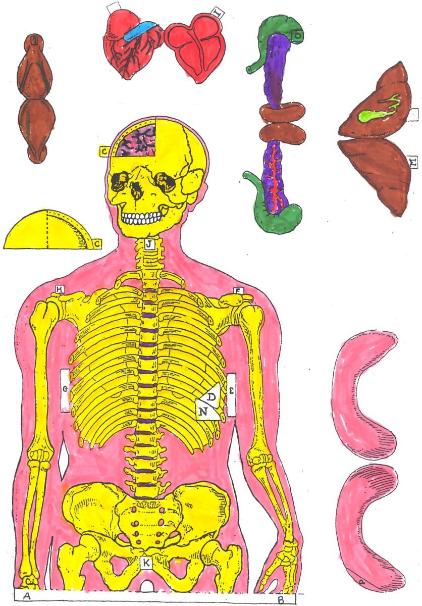 Recortable del cuerpo humano - Actiludis