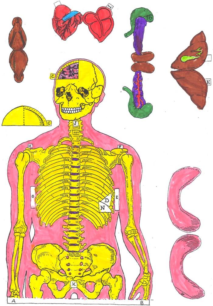 esqueleto-3