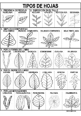 Tipos_hojas-P