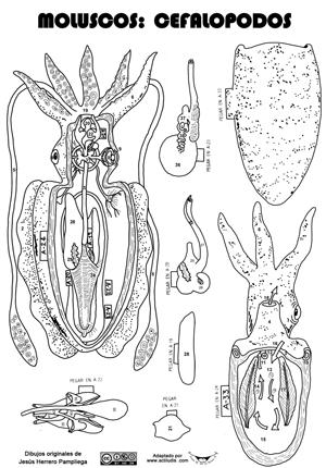 Recortables Anatomía Invertebrados Actiludis