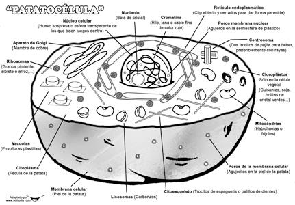 patatocelula