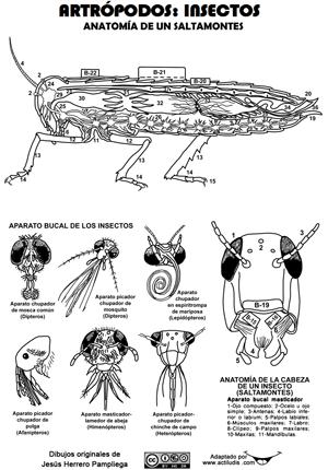 Anatomía insectos y artrópodos - Actiludis