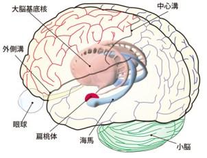 「扁桃体」の画像検索結果