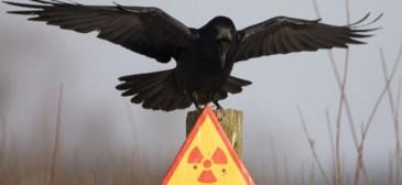 oiseau-tchernobyl