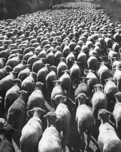 sheepheard