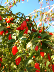 goji berries local vancouver food healthy nutrition