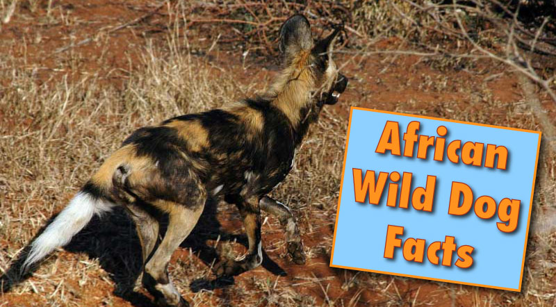 African Wild Dog Facts Amp Information From Active Wild