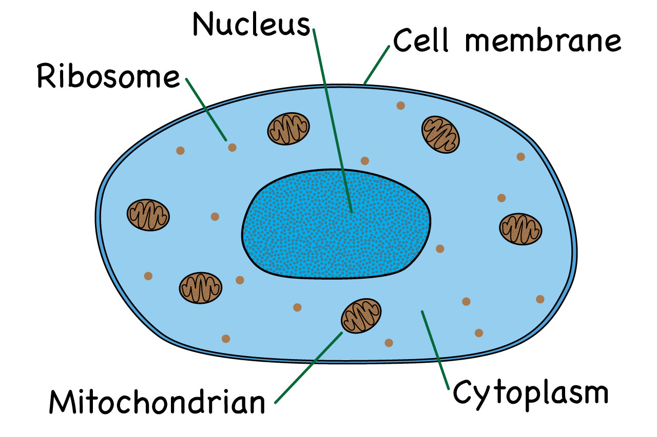 What Is An Animal Cell Facts Pictures Amp Info For Kids