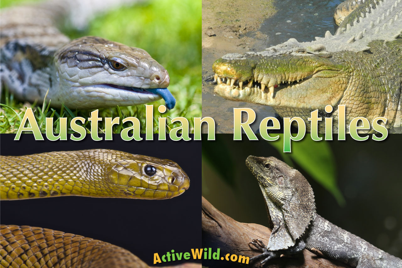 Australian Reptiles List Pictures Amp Facts Amazing