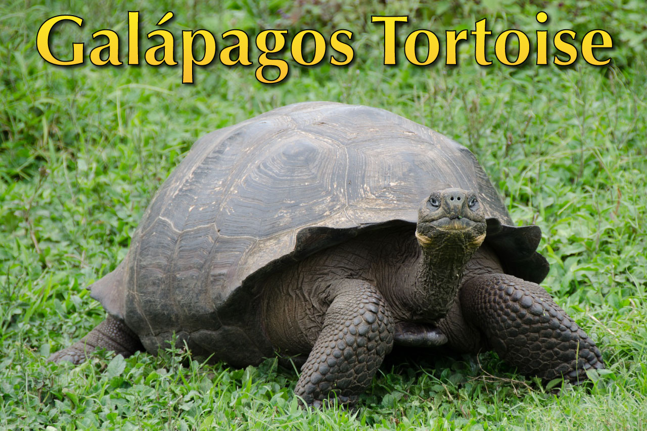 Galapagos Tortoise Facts Pictures Amp Video The World S
