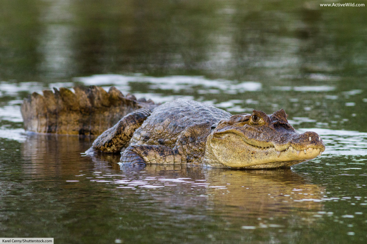 Spectacled Caiman Facts Pictures Amp In Depth Information