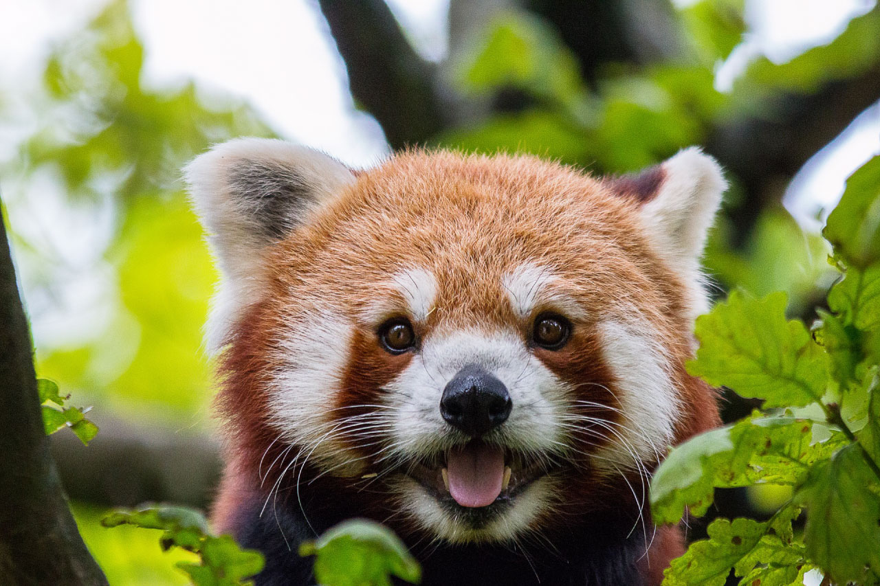 Red Panda Facts Pictures Amp Information The Panda That