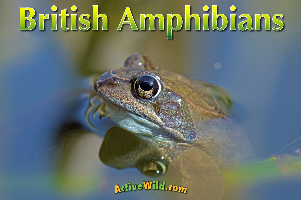 Amphibians In Britain List Amp Guide To All British