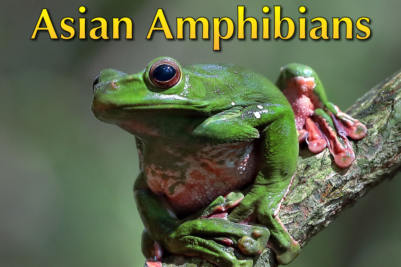 Asian Amphibian List With Pictures Amp Facts Amazing