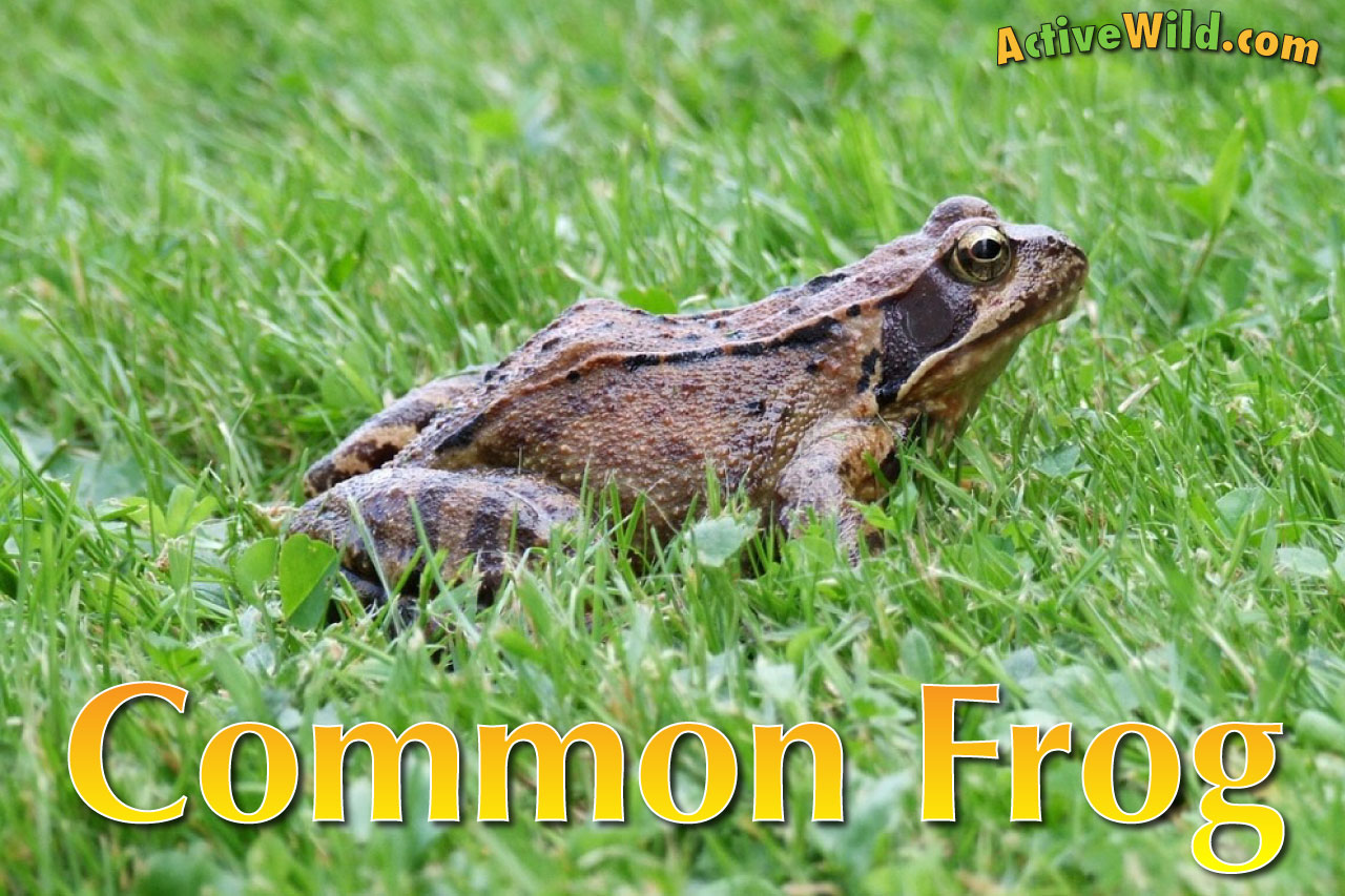 European Common Frog Facts For Kids Amp Adults Pictures