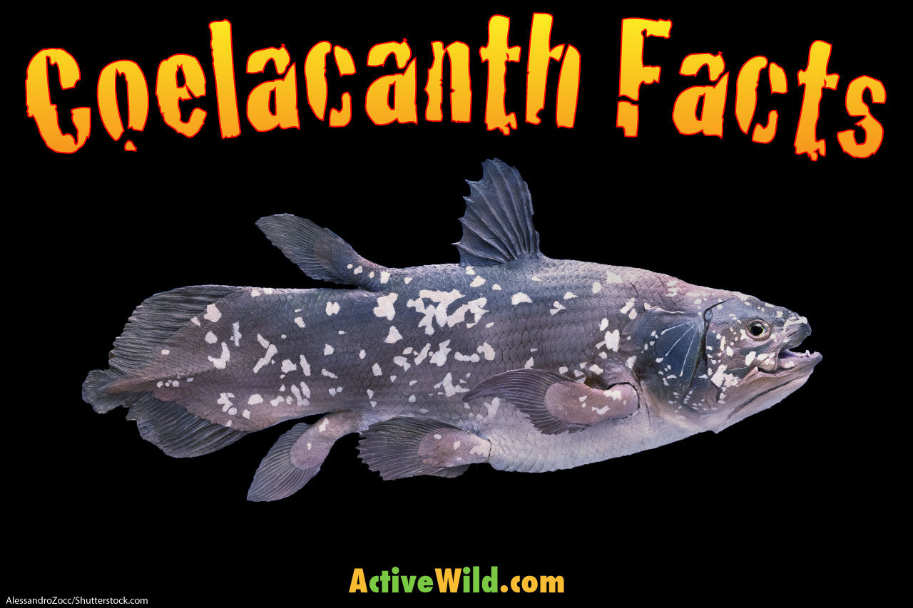 Coelacanth Facts Pictures Amp Information An Amazing