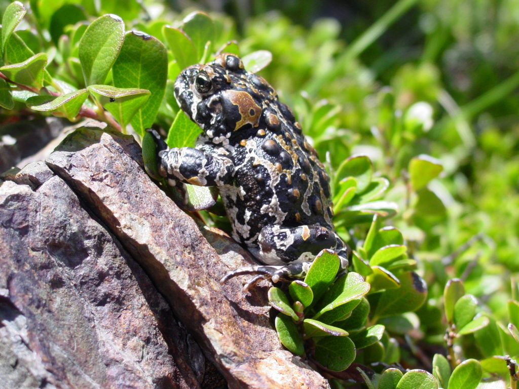 Yosemite Toad Facts Pictures Amp Info Endangered American