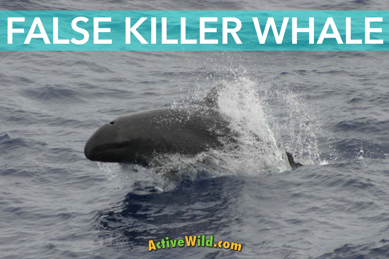 False Killer Whale Facts Pictures Information Amp Video
