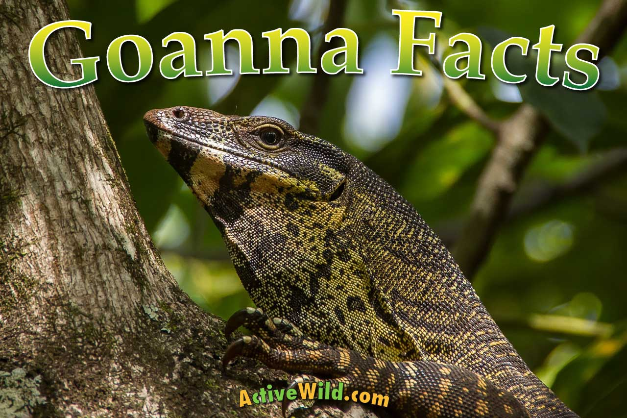 Goanna Facts For Kids Amp Adults Pictures In Depth