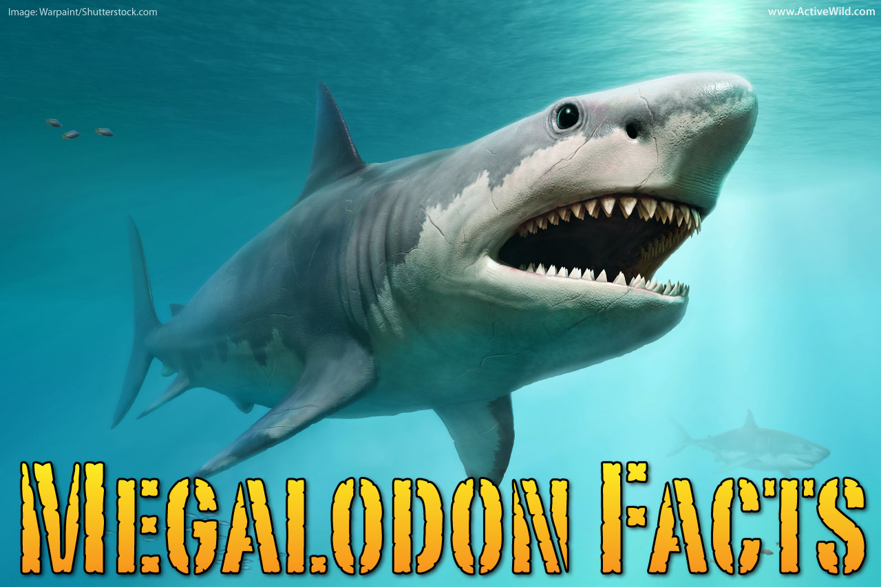 Megalodon Facts For Kids Amp Adults The World S Biggest