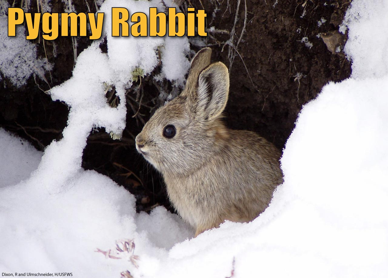 Pygmy Rabbit Facts Pictures Amp Information The World S