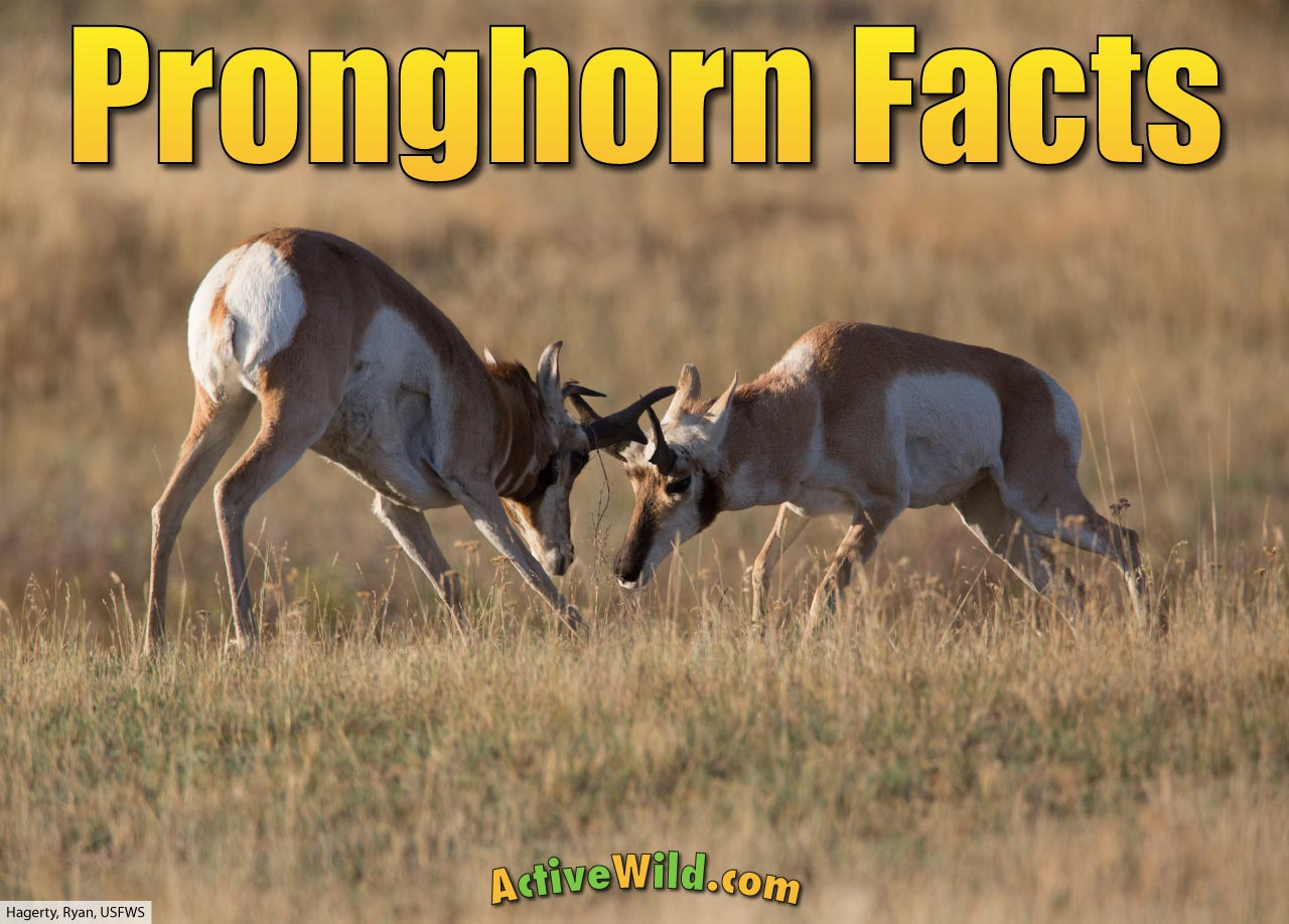 Pronghorn Facts Pictures Video Amp In Depth Info Second