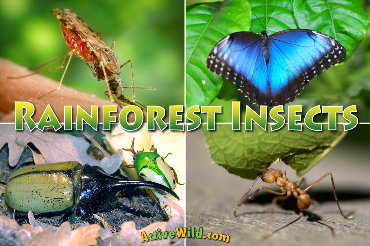 Rainforest Insects List Insects That Live In Rainforests