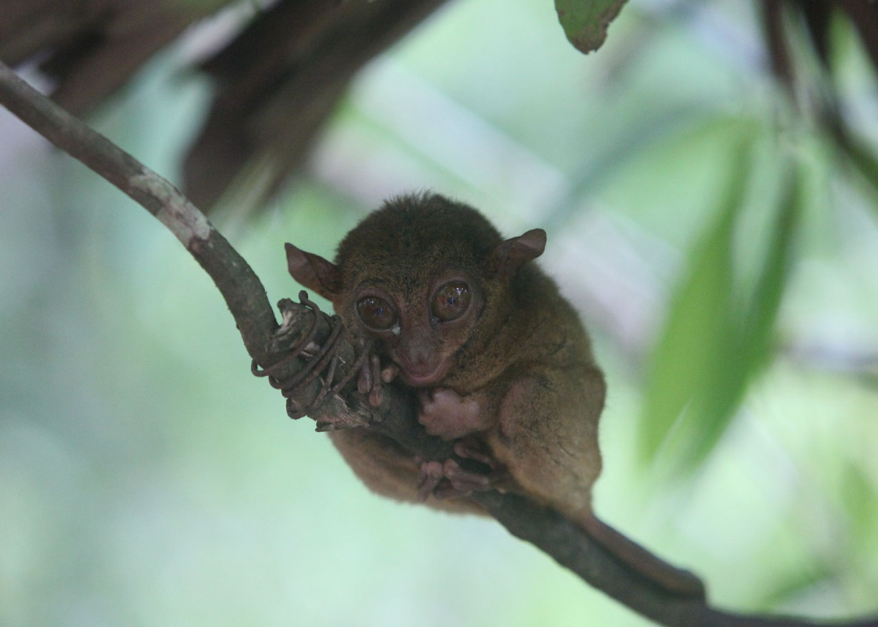 Tarsier Facts Pictures Amp Info Discover A Nocturnal