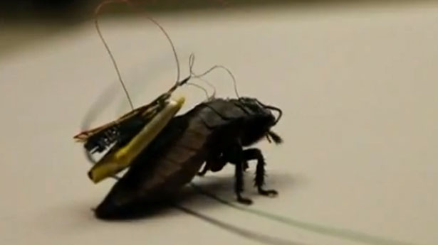 https://i2.wp.com/www.activistpost.com/wp-content/uploads/2013/10/Cyborg-cockroach-screenshot1.jpg