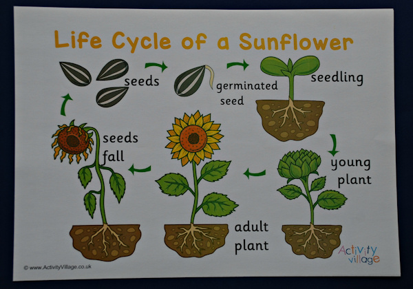 Guest Post Making A Sunflower Life Cycle Poster And Booklet